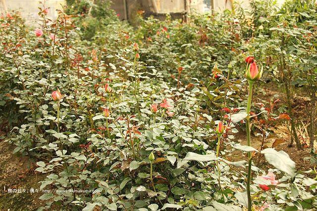 雲林虎尾自助式玫瑰花園-5362