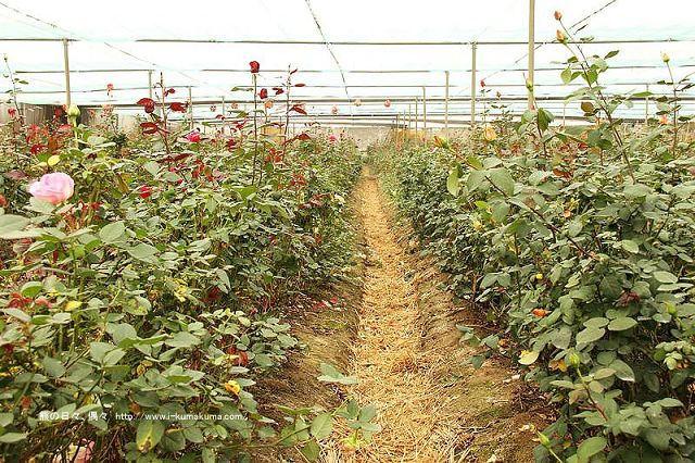 雲林虎尾自助式玫瑰花園-5300