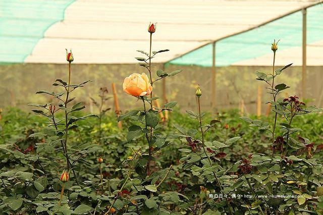 雲林虎尾自助式玫瑰花園-5331
