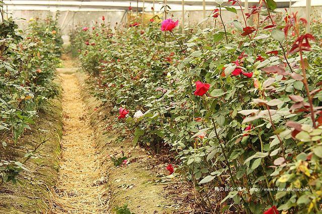 雲林虎尾自助式玫瑰花園-5302