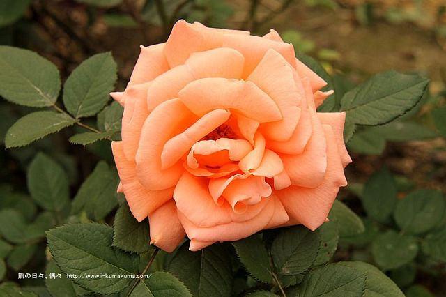 雲林虎尾自助式玫瑰花園-5285