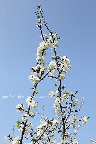 苗栗石鎮里李花-6931