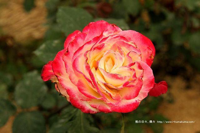 雲林虎尾自助式玫瑰花園-5277