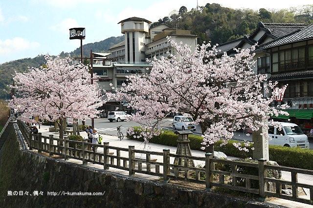 錦帶橋櫻花-3101