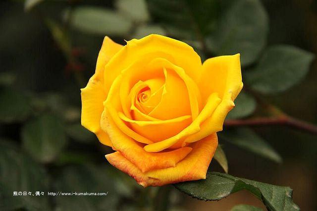 雲林虎尾自助式玫瑰花園-5414