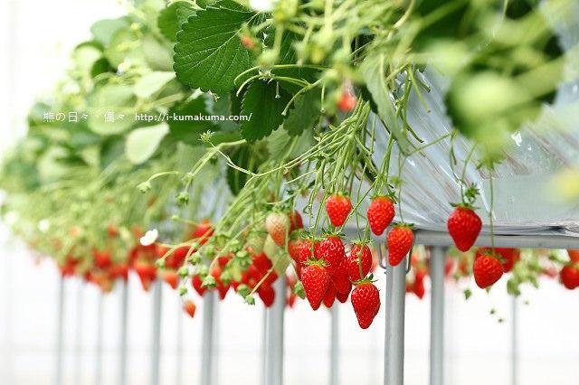 市野園芸採草莓-9742
