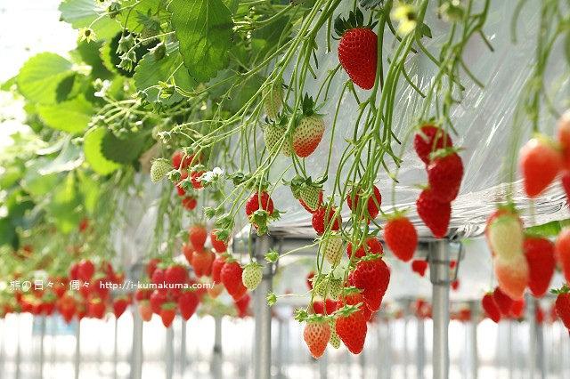 市野園芸採草莓-9818