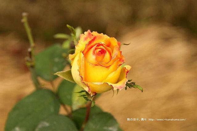 雲林虎尾自助式玫瑰花園-5345