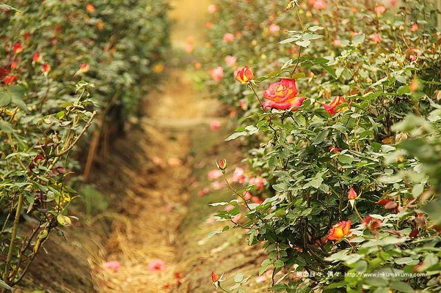 雲林虎尾自助式玫瑰花園-5384