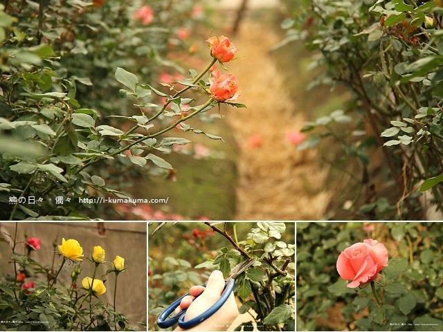 雲林虎尾自助式玫瑰花園-5233