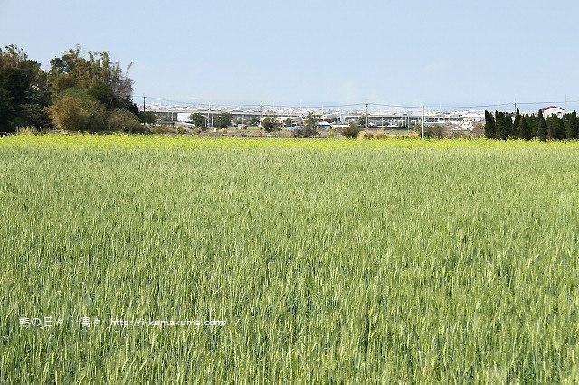 苗栗石鎮里麥田-7134