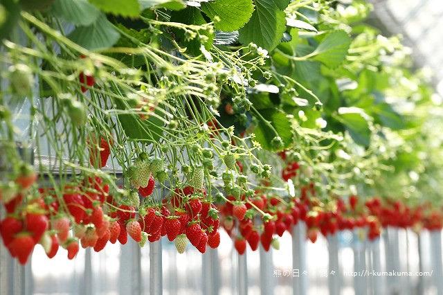 市野園芸採草莓-9804