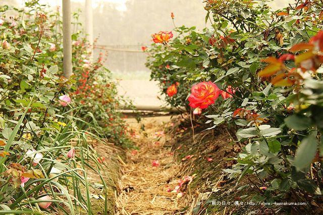 雲林虎尾自助式玫瑰花園-5375