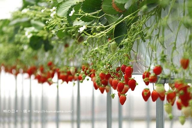 市野園芸採草莓-9686