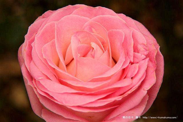 雲林虎尾自助式玫瑰花園-5296