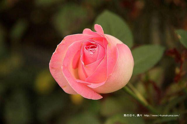 雲林虎尾自助式玫瑰花園-5378
