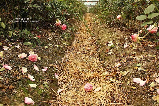 雲林虎尾自助式玫瑰花園-5303