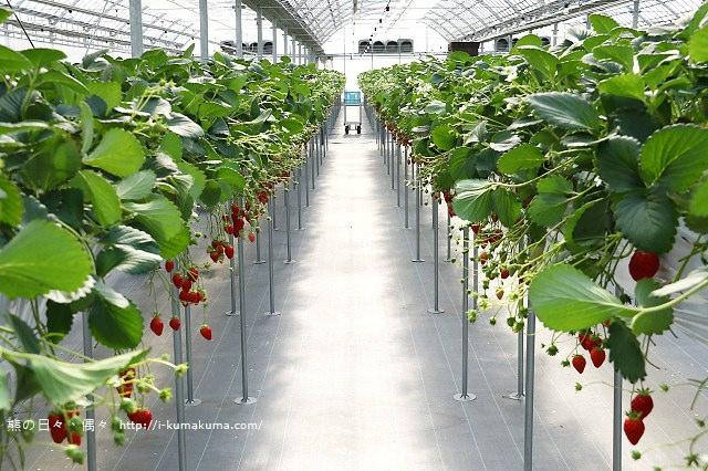 市野園芸採草莓-9801