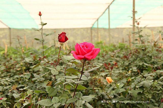 雲林虎尾自助式玫瑰花園-5316