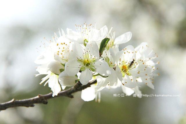 苗栗石鎮里李花-6947