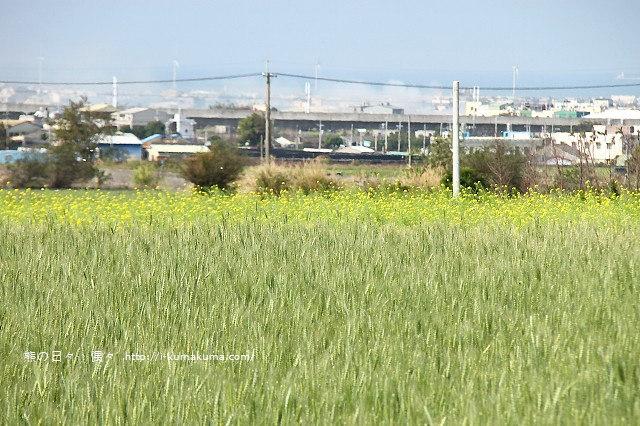 苗栗石鎮里麥田-7156
