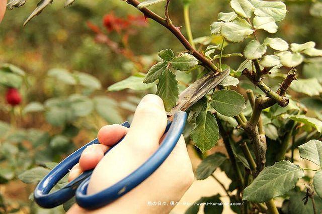 雲林虎尾自助式玫瑰花園-5435