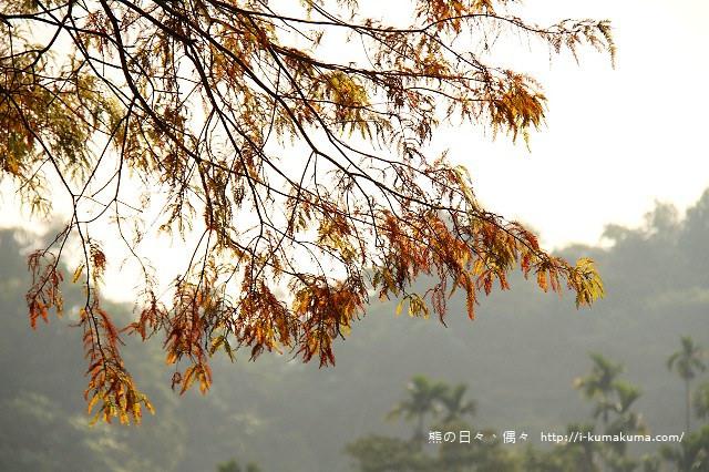 雲林桂林村落羽松-IMG_9861
