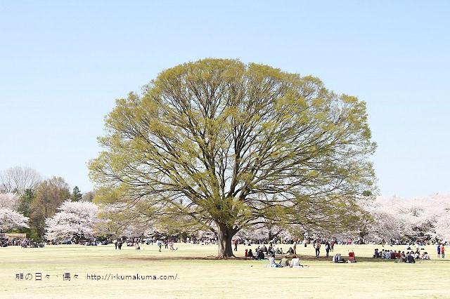 國營昭和紀念公園櫻花-6546