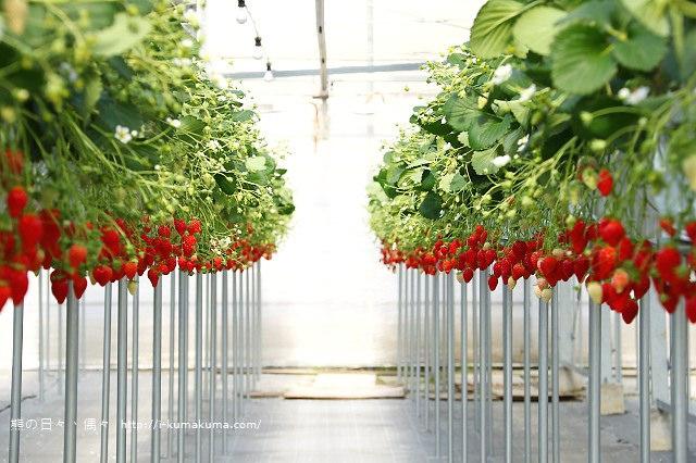 市野園芸採草莓-9793