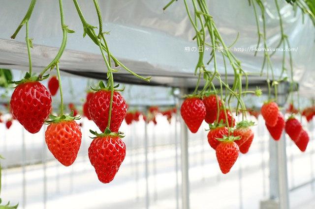 市野園芸採草莓-9805