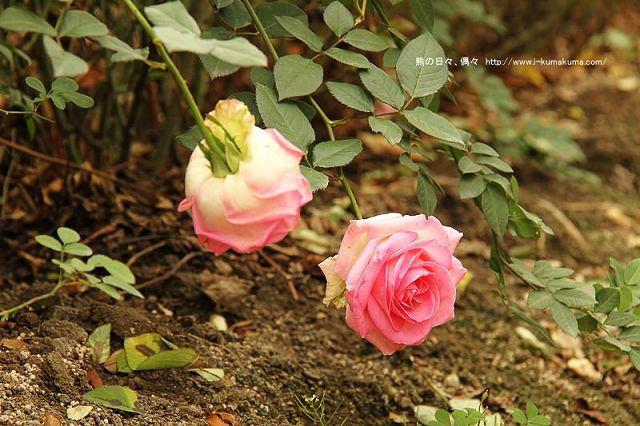 雲林虎尾自助式玫瑰花園-5305