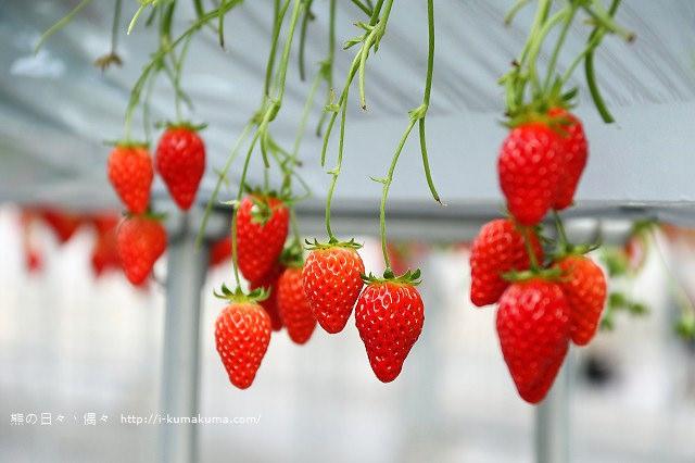 市野園芸採草莓-9738