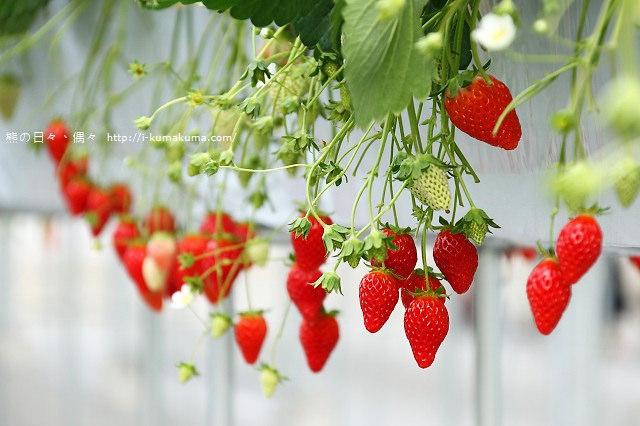 市野園芸採草莓-9720