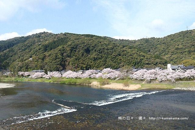 錦帶橋櫻花-3150
