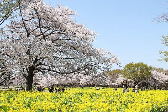 國營昭和紀念公園櫻花-6625