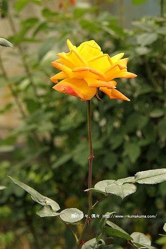 雲林虎尾自助式玫瑰花園-5416