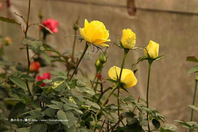 雲林虎尾自助式玫瑰花園-5423