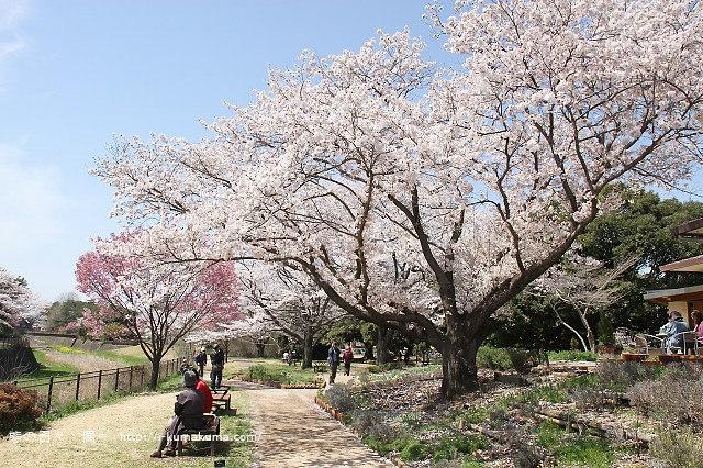 國營昭和紀念公園櫻花-6468