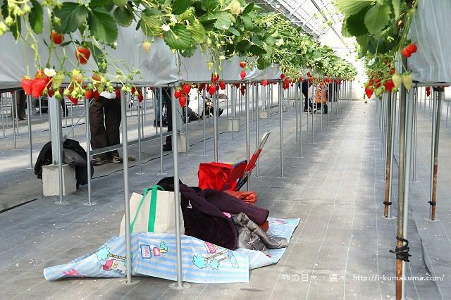 市野園芸採草莓-9784