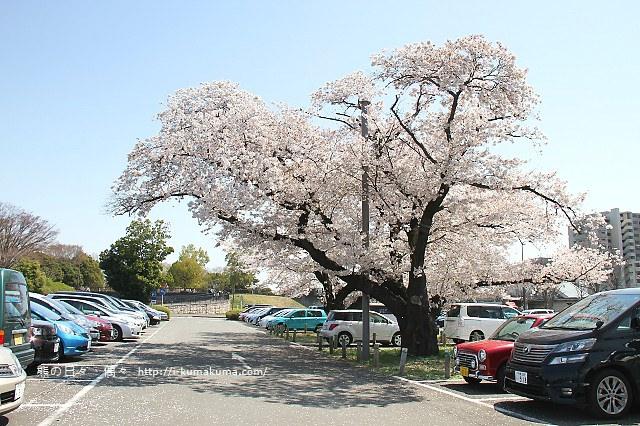 國營昭和紀念公園櫻花-6317