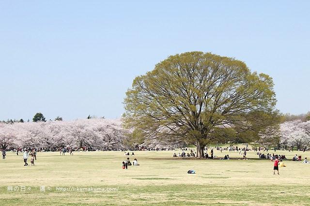國營昭和紀念公園櫻花-6512