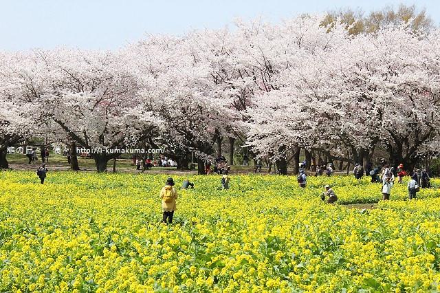 國營昭和紀念公園櫻花-6672