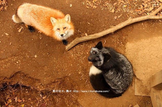 藏王狐狸村-IMG_0524