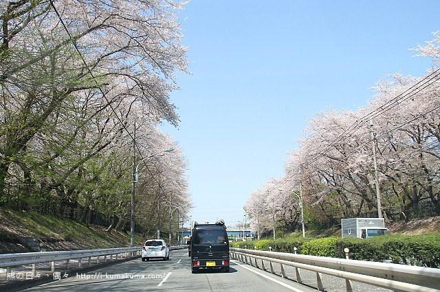 國營昭和紀念公園櫻花-6302