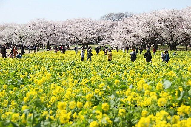 國營昭和紀念公園櫻花-6704