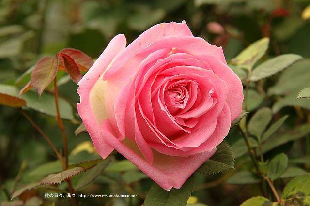 雲林虎尾自助式玫瑰花園-5321