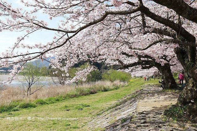 錦帶橋櫻花-3398