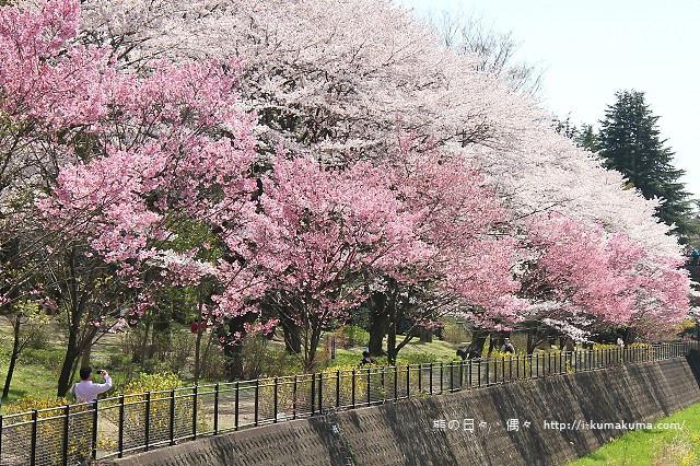 國營昭和紀念公園櫻花-6382