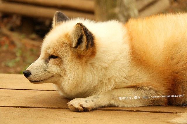 藏王狐狸村-IMG_0651