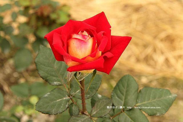 雲林虎尾自助式玫瑰花園-5350